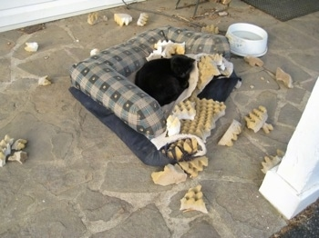 Cat laying on the chewed up ruined dog bed