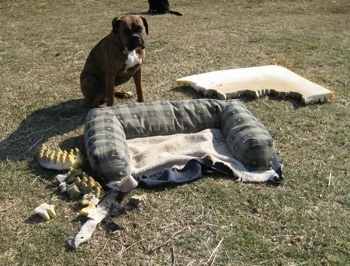 Bruno the Boxer in the yard with the chewed up ruined dog bed