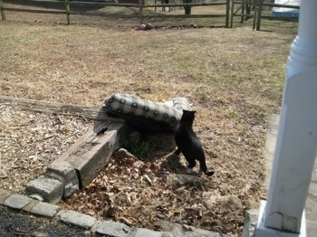 ruined Cat bed in the yard with a black cat smelling it