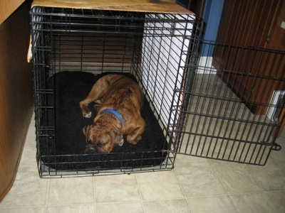 Bruno the Boxer sleeping inside of his dog crate