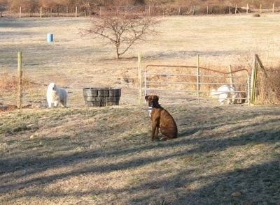 Bruno the Boxer sitting in a field with Tacoma and Tundra the great Pyrenees in the background behind a gate