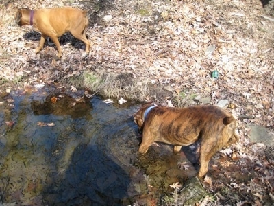 Bruno the Boxer drinking from the stream. Allie the Boxer walking streamside