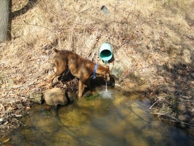 Bruno the Boxer drinking from the runoff water pipe