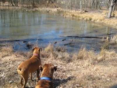 Allie and Bruno the Boxers looking at a pond