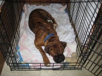 Bruno the Boxer sleeping in his crate