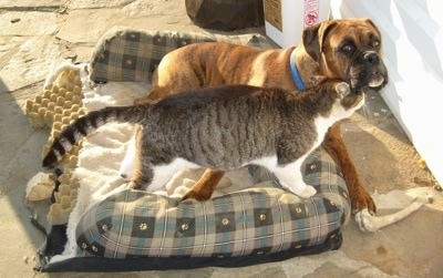 Trouble the cat rubbing on Bruno the Boxer as he lays in the outside dog bed