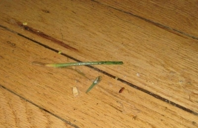 Dog puke with grass in it on a hardwood floor