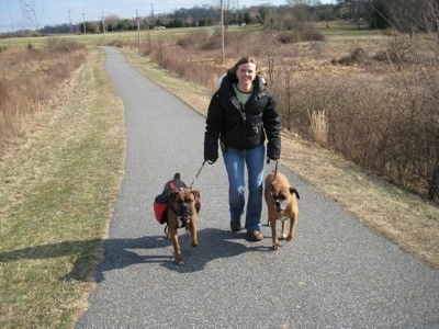 Allie and Bruno the Boxer on a walk down a paved path with there owner