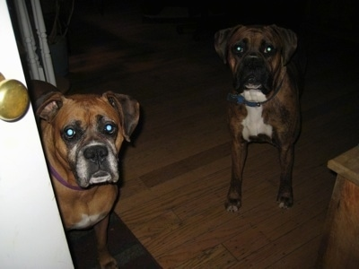 Allie and Bruno the Boxer in the house looking out the front door
