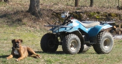 Bruno the Boxer laying in front of a teal blue Suzuki quadrunner 160