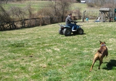Bruno the Boxer chasing the teal blue Suzuki quadrunner 160