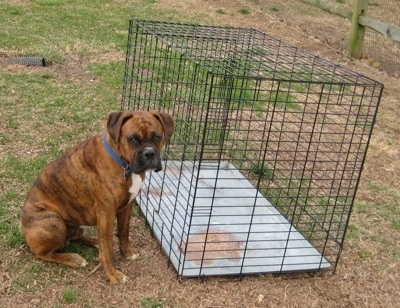 Bruno the Boxer sitting in front of a crate which is outside in the yard