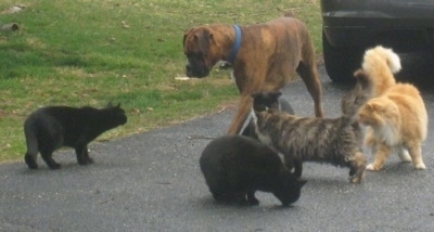 Bruno the Boxer walking on the blacktop, surrounded by five cats