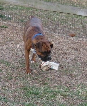 Bruno the Boxer walking with a newspaper in his mouth