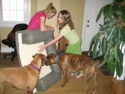 Amie and Sara setting up Allie and Bruno the Boxers new dog beds as the dogs watch
