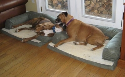 Allie and Bruno the Boxer biting with each other while laying on the dog beds