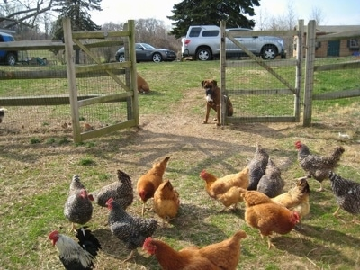 Bruno the Boxer sitting in front of an open gate with a bunch of chickens on the other side of it