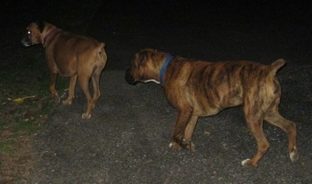 Bruno the Boxer following Allie the Boxer outside at night