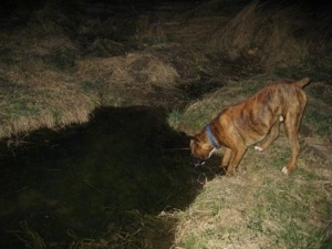 Bruno the Boxer drinking out of a stream