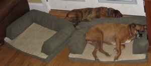 Allie the Boxer sleeping in a dog bed and Bruno the Boxer sleeping behind the dog bed