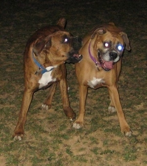 Bruno the Boxer nipping at Allie the Boxer