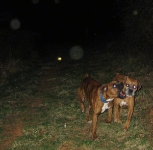 Allie and Bruno the Boxers nipping at each other on a walk