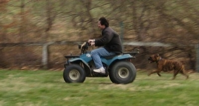 Bruno the Boxer chasing after the teal blue Suzuki quadrunner 160