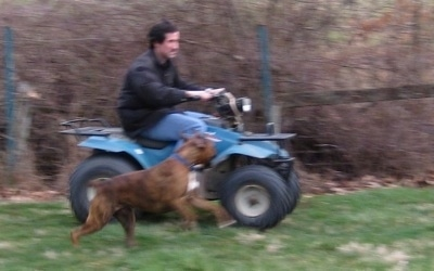 Bruno the Boxer running with the teal blue Suzuki quadrunner 160