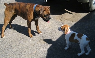 Bruno the Boxer looking at Darley the Beagle mix puppy out in a driveway
