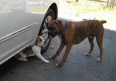 Darley the Beagle mix sitting under a car behind the front wheel and Bruno the Boxer is standing in front of her