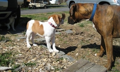 Darley the Beagle Mix standing in front of Bruno the Boxer who is looking at him