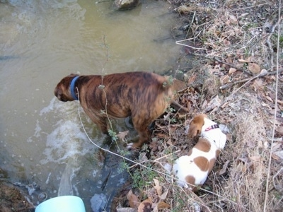 Bruno the Boxer sticking his head in the pond. Darley the Beagle mix sitting on the edge of the water