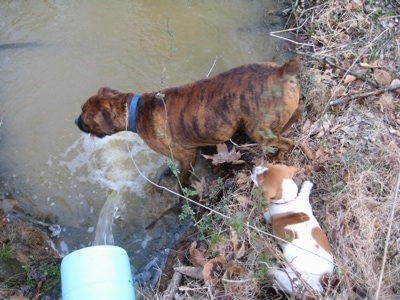 Bruno the Boxer drinking from a pond. Darley the Beagle mix sitting on the edge of the water
