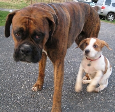 Bruno the Boxer walking on the blacktop and Darley the Beagle mix running beside him