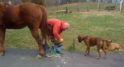 Allie and Bruno the Boxer watching a horse ferrier who is trimming the horses hooves