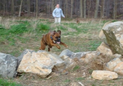 Bruno the Boxer jumping over a stone wall with Amie running in the background