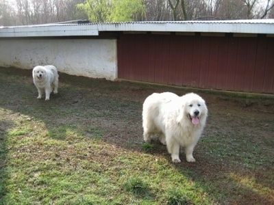 Tacoma and Tundra the Great Pyrenees in front of the chicken coop