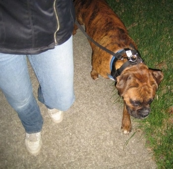 Bruno the Boxer walking on a leash next to his owner