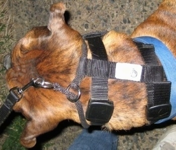 Bruno the Boxer wearing the illusion dog training collar, top view