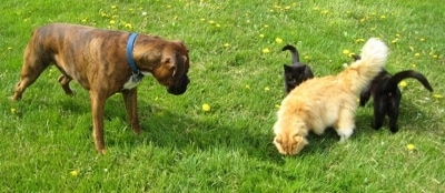 Bruno the Boxer looking at all three cats who are standing next to one another