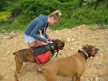 Amie putting an Illusion dog collar on Bruno the Boxer who is also wearing a dog backpack and Allie the Boxer is standing next to them