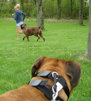Bruno the Boxer chasing Amie as Allie is watching