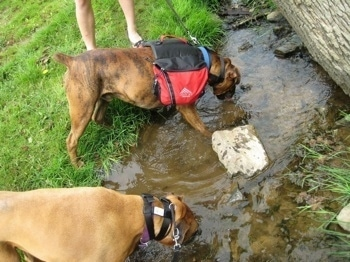 Allie and Bruno the Boxers drinking from a stream