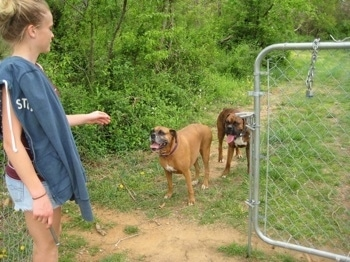 Amie making Allie and Bruno the Boxer wait before coming through the gate
