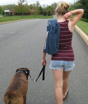 Bruno the Boxer walking down the street with Amie while on a leash
