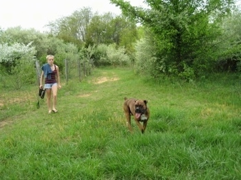 Bruno the Boxer running down the grassy path off leash and Amie walks behind him
