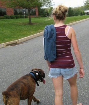 Amie walking Bruno the Boxer down the street without a leash