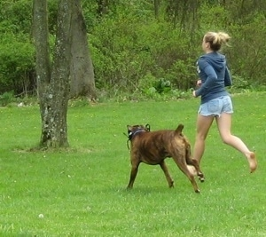 Amie and Bruno the Boxer running around a park
