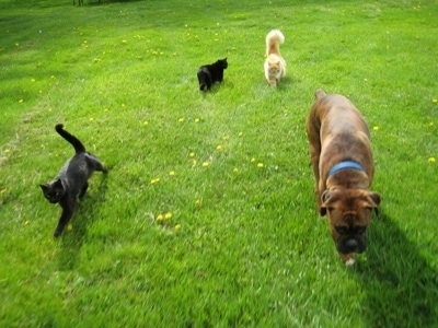 Three cats are following Bruno the Boxer through the grass