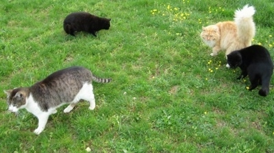 Four cats walking around the grass looking for cheese